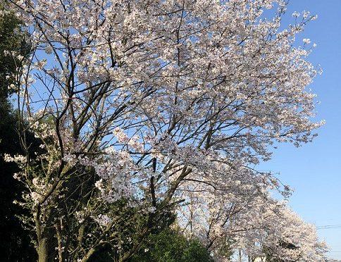 sakura桜(馬刺し)満開