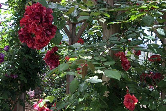 熊本は薔薇の週末でした/馬刺しの菅乃屋